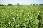 فريق من الزراعة الإتحادية لدراسة تكاليف الإنتاج  للمحاصيل بشمال كردفان