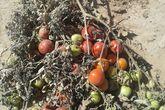 ابادة المنتوجات الزراعية المخالفه للوائح الصحيه بابوحمد
