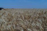 البنك الزراعي يتسلم أكثر من3 مليون جوال قمح  بالسعر التركيزي