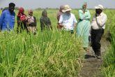 إنتاج واعد للأرز الهوائى بولاية النيل الأبيض